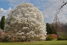The Winterthur Gardens are blooming in Delaware! Photo: Wada's Memory magnolia, 3/20/12, by Jeannette Lindvig.