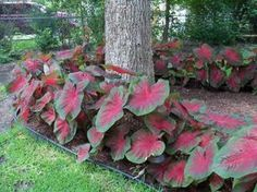Caladium en tant que déco dans le jardin d'ombre Tropical Garden Design, Tropical Backyard, Tropical Landscaping, Front Yard Landscaping, Tropical Plants, Tropical Gardens, Shade Garden, Garden Plants, Garden Mulch