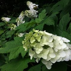 The fabulous native oak leaf hydrangea -- blooming now (June) at Lewis Ginter Botanical Garden.