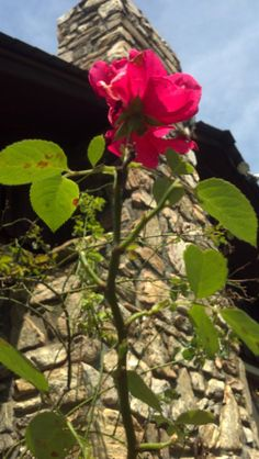 Mike's Rose Bush