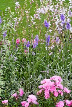 Rosa, Lavandula x intermedia, Gaura lindheimeri | Plant & Flower Stock Photography: GardenPhotos.com