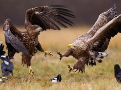 """White-Tailed Eagles, Poland The White Eagle is the oldest of Poland's national symbols. It is its emblem, its coat of arms. Its origins are both legendary and historical. The bird landed on a nest in a large oak tree. Lech took the presence of the white eagle and its nest to be a good omen. He turned to his Lechitians and said: """"Here will be the place of our permanent settlement which we shall call Gniezno (the old Polish word for nest) and the White Eagle shall be our symbol."""""""