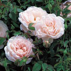 Lochinvar English Roses