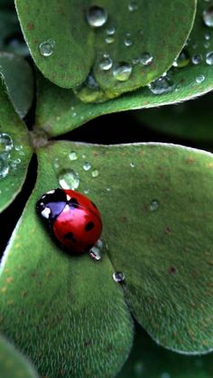 Ladybug Sitting On A Clover Leaf iPhone 5  wallpapers and Backgrounds 640 x 1136