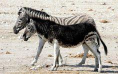 Zebra negra