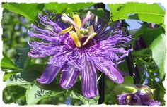Passion flower, vine.  Is this a clematis?
