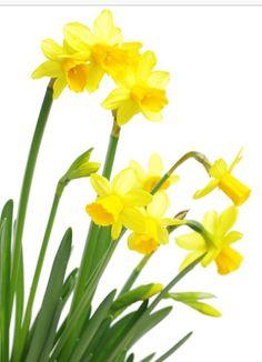 PÅSKELILJE Vitenskapelig navn: Narcissus pseudonarcissus