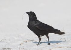 crow-nesting-material