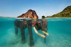 Photos of Animals Half Under Water #photography #under #water #animals #half #split #elephant