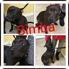 Butler, KY - Bull Terrier Mix. Meet Simba, a dog for adoption. http://www.adoptapet.com/pet/12635422-butler-kentucky-bull-terrier-mix