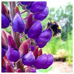 The garden is humming with busy bees. This one's loving the lupins! Busy Bee, Abundance, Bees, First Love, Photo And Video, Garden, Nature, Flowers, Plants