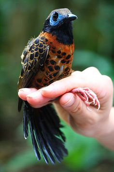 Ocellated Antbird male, Phaenostictus mcleannani, Central and South America