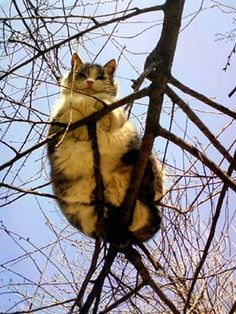 Chonker cats are fat cats and because they are chonky cats then that makes them funny cats. Whenever I see a fat cat I cat laugh because my cat love is super big just like they are. Fat cats make the perfect funny cat photos. Animals And Pets, Funny Animals, Cute Animals, Funny Horses, Fat Cats, Cats And Kittens, Fat Kitty, Happy Kitty, Tabby Cats