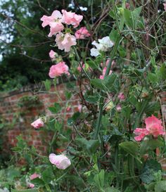 Ask the Expert: The Best Sweet Peas to Sow for Spring: Gardenista