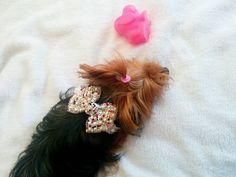 Aysha minha Yorkshire terrier ❤ linda da mamãe