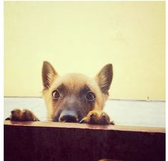 Baby Malinois! It's so cute