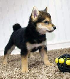 Shiba Inu Puppy. Japanese Dog Breeds, Japanese Dogs, Cute Puppies, Cute Dogs, Dogs And Puppies, Shiba Inu, Animals Are Beautiful People, Cute Dog Photos, Akita