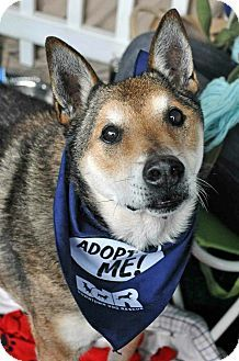 Los Angeles, CA - Shiba Inu/Shepherd (Unknown Type) Mix. Meet Alfred, a dog for adoption. http://www.adoptapet.com/pet/12179700-los-angeles-california-shiba-inu-mix