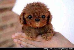 Miniature tea cup poodle