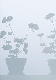 Ikkunakalvo, Pelargonia