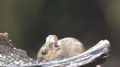 Close Up Wood Mouse Eating - Stock Footage | by MSVRVisual #stock #stockfootage #stockvideo #videostock #videofootage #video #pond5 #Mouse #woodmouse