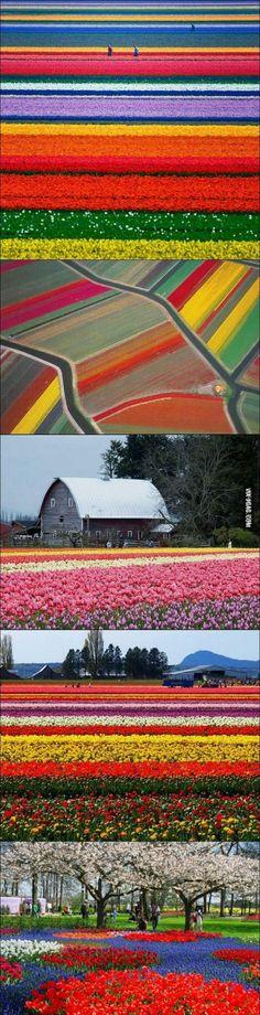 Flowerfields in The Netherlands