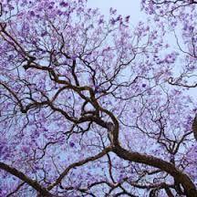 Image result for jacaranda tree Antigua Guatemala