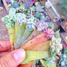 """6,523 Likes, 82 Comments - Succulents & Cacti (@leafandclay) on Instagram: """"A handful of perfection #leafandclay #succulents (: @concrete_gardens)"""""""