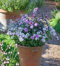 A combination of dahlia, verbena and scabiosa columbaria - incredibly pretty and long-flowering. A great pollenator too! Buy your collection today! Cottage Garden Plants, Garden Spaces, Garden Pots, House Plants, Garden Ideas, Container Plants, Container Gardening, Flower Containers, Scabiosa Columbaria