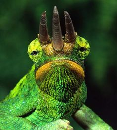 Jackson's chameleon, a reptile from the African countries of Kenya,Tanzania, Uganda, and Mozambique, possesses possibly the best horns of the reptile kingdom. The three giant horns, one from the snout and two above the eyes, are well-formed and highly impressive. The snout horn bends slightly upward.