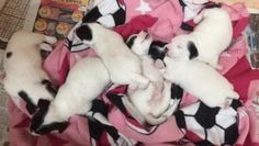http://puppiesforsale.store/jack-russell-terrier/jack-russell-terrier-puppies-for-sale-51.html