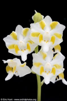 Phalaenopsis pulcherrima -  Country of Origin: Chinese Himalayas, Assam India, Myanamar, Thailand, Malaysia, Laos, Cambodia, Yunnan China, Vietnam, Borneo and Sumatra; Grower: Golden Gate Orchids 2010 -