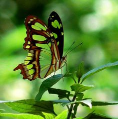 Emerald green and ebony patterned butterfly