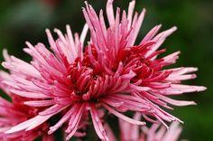 Affordable Wedding Flowers, Spider Mums, Chrysanthemums, Fresh Flowers, Flower Arrangements, Wedding Venues, Plants, Wedding Reception Venues, Floral Arrangements