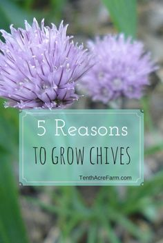 Chives are a popular herb to grow in the culinary herb garden, vegetable garden, and orchard. Here are five reasons why you should consider growing this herb.