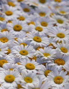 white-daisy-flowers-david-nunuk.