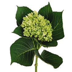 Hydrangea, mini tight -green