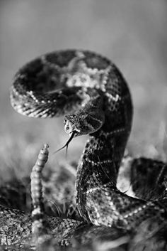 Rattle snake..love this..