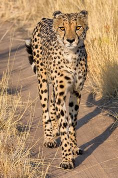 Cheetahs are one of the most beautiful wild animals!