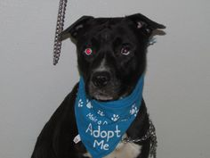 Meet Sinatra, an adoptable Pit Bull Terrier looking for a forever home. If you're looking for a new pet to adopt or want information on how to get involved with adoptable pets, Petfinder.com is a great resource.
