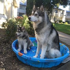 """1,454 Likes, 13 Comments - Konan and Kovak (@inthepackwetrust) on Instagram: """"Doesn't even have water yet...they're ready Perfect weather to use our pool! (Kovak doesn't even…"""""""