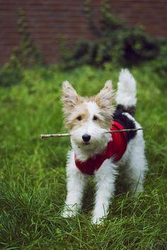 Happy Wire Fox Terrier - Weenie