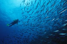 A diver swims with a school of boga fish in Bonaire Marine Park    PAUL SUTHERLAND