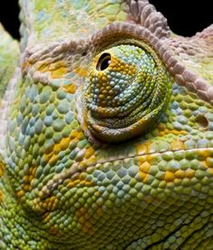 f416f9fcfa Chameleon  eyes  animals Chameleon Eyes