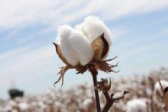 What is Cotton? Apa itu katun?