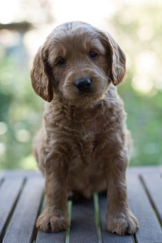 Puppy Availability - Australian Labradoodle Puppies for Sale! Serving Washington, Seattle, Medina, Bellevue, New York, and beyond! - Ridgeline Labradoodles