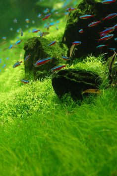 aquascaping with cardinal tetras - Google Search