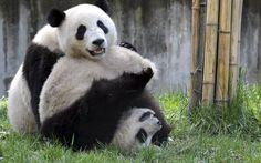 China verteilt auf der Welt seine Pandas und gleichzeitig Sympathiepunkte.