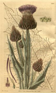 arabicum, Arabian Cotton Thistle - high resolution image from old book. Science Illustration, Plant Illustration, Botanical Illustration, Vintage Botanical Prints, Botanical Drawings, Botanical Flowers, Botanical Art, Art Clipart, Nature Prints