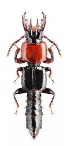 Borolinus sp.(Fam. Staphylinidae) visite www.tserv.com.br e curta nossa pagina